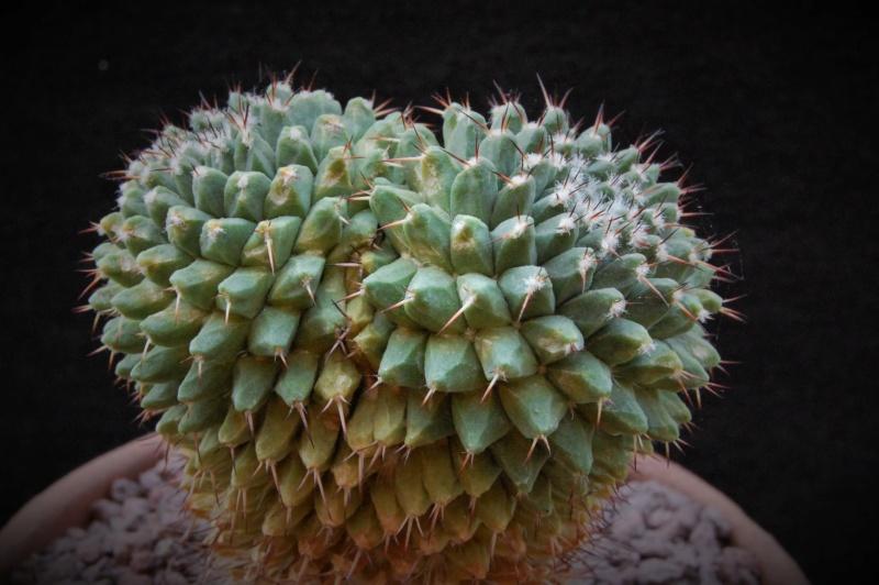 Mammillaria confusa 8132-210