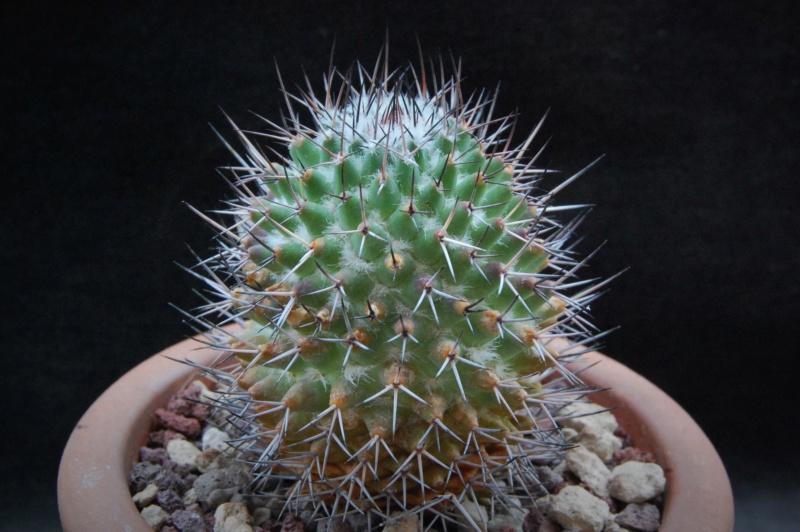 Mammillaria kelleriana 8134-211