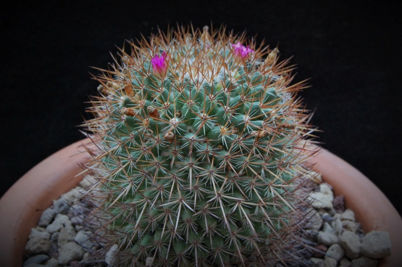 Mammillaria rhodantha 8148-210