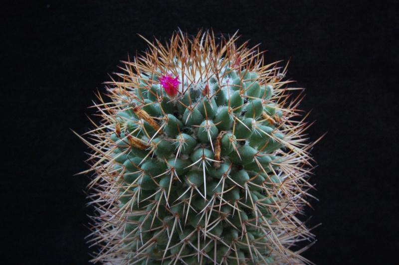 Mammillaria polythele 8151-210
