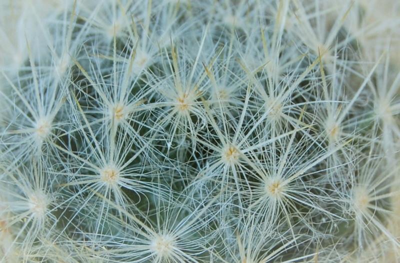 Mammillaria prolifera 8171-210