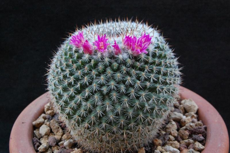 Mammillaria saetigera 8180-210