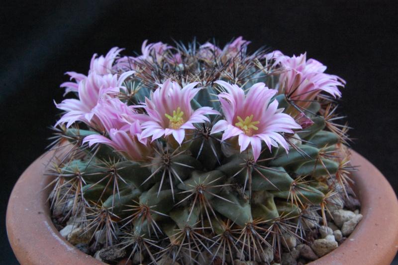 Mammillaria melanocentra 8202-213