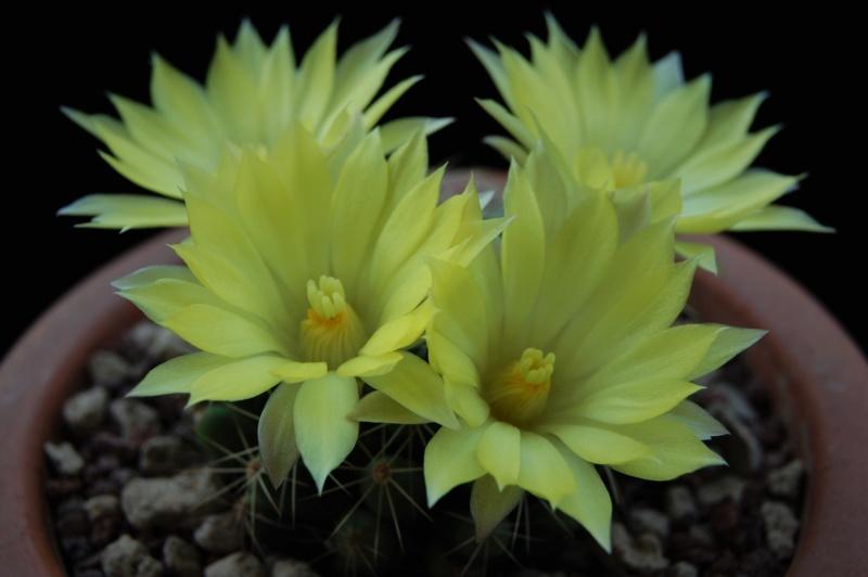Mammillaria sphaerica 8204-210