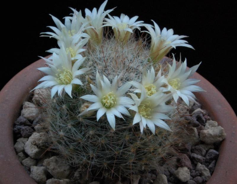 Mammillaria moeller-valdeziana 8210-210