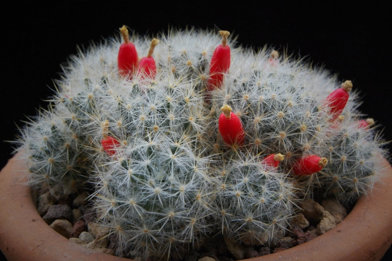 Mammillaria prolifera 8211-211