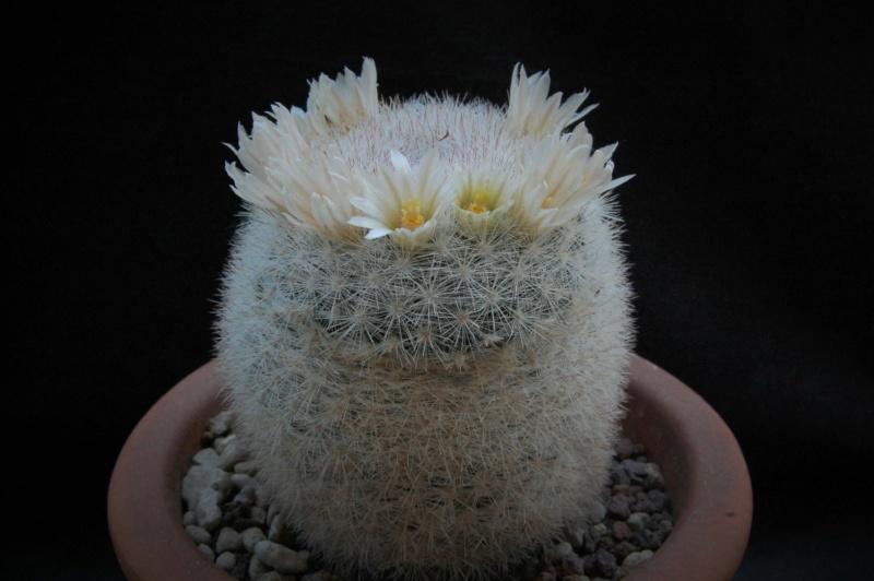 Mammillaria candida 8218-210