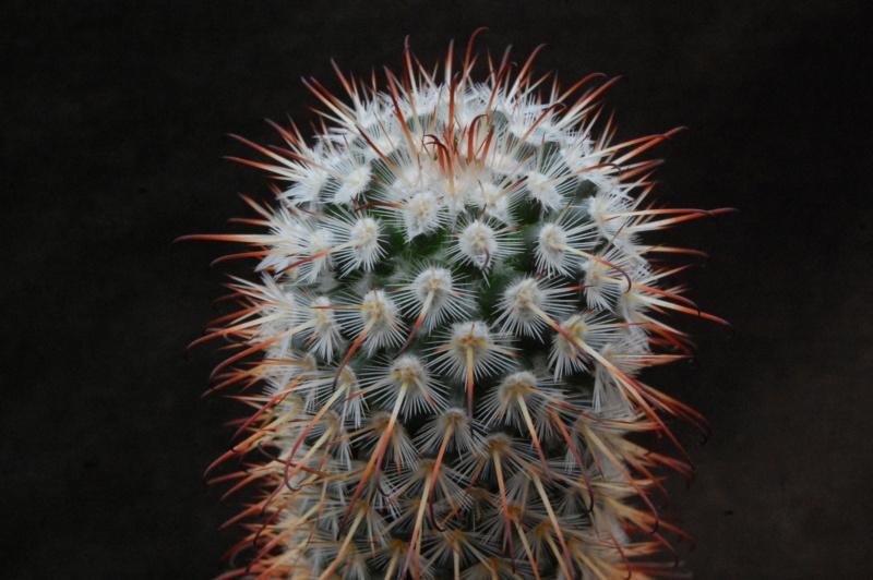 Mammillaria bombycina 8219-210