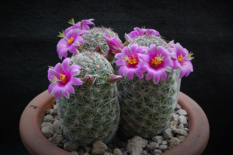 Mammillaria alamensis 8222-210