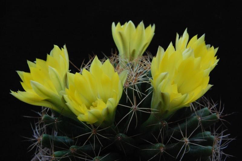 Mammillaria longimamma 8261-211