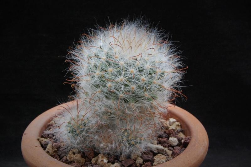 Mammillaria guelzowiana 8280-210