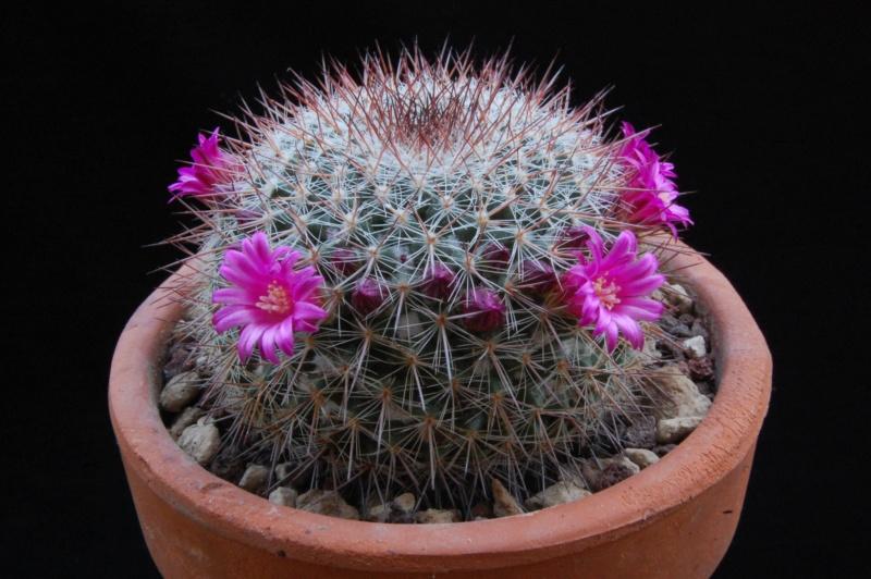 Mammillaria temorisensis 8296-210
