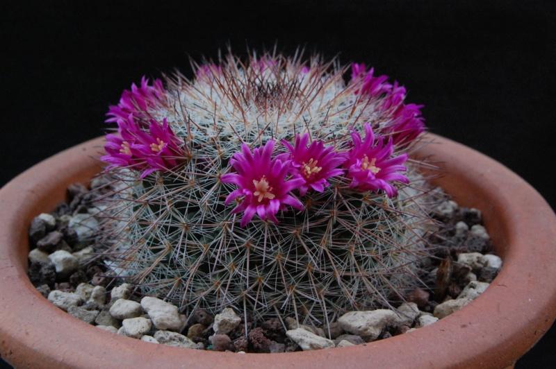 Mammillaria temorisensis 8296-212
