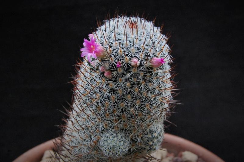 Mammillaria haageana 8333-210