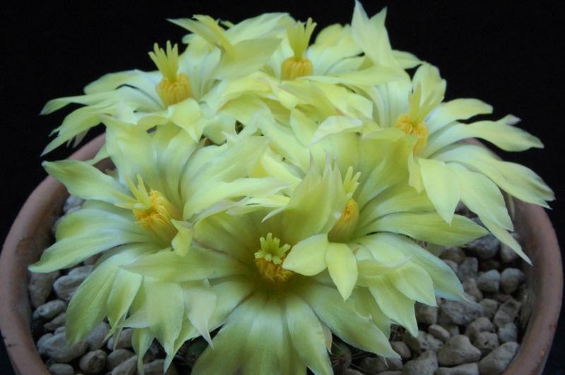 Mammillaria sphaerica 8369-210