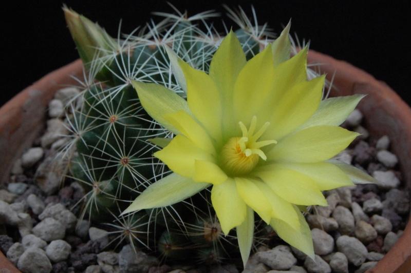 Mammillaria sphaerica 8369-211
