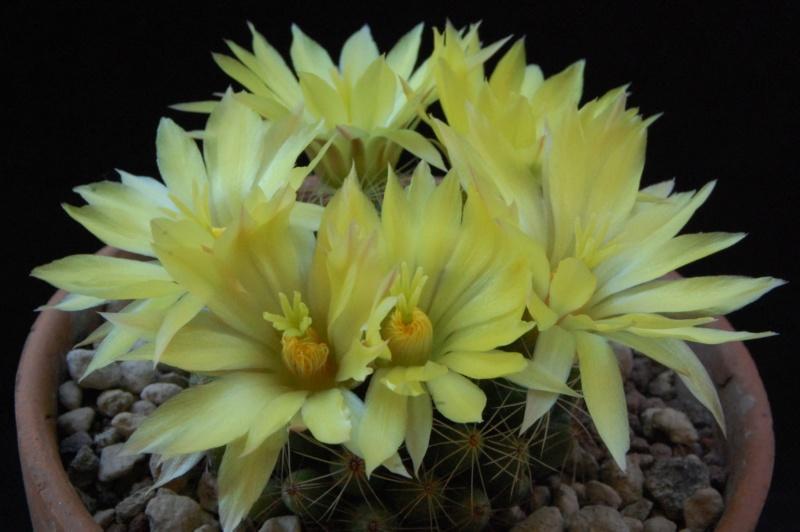 Mammillaria sphaerica 8369-212