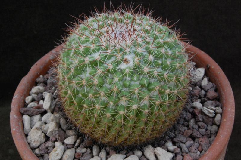 Mammillaria floresii 8414-210