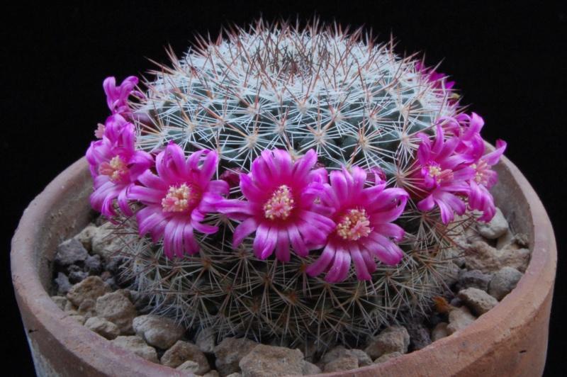 Mammillaria temorisensis 8438-211