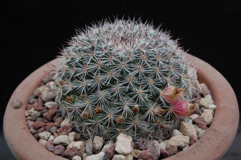 Mammillaria temorisensis 8438-212