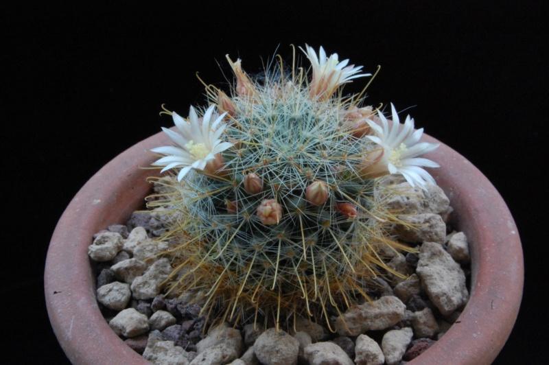 Mammillaria crinita 8608-210