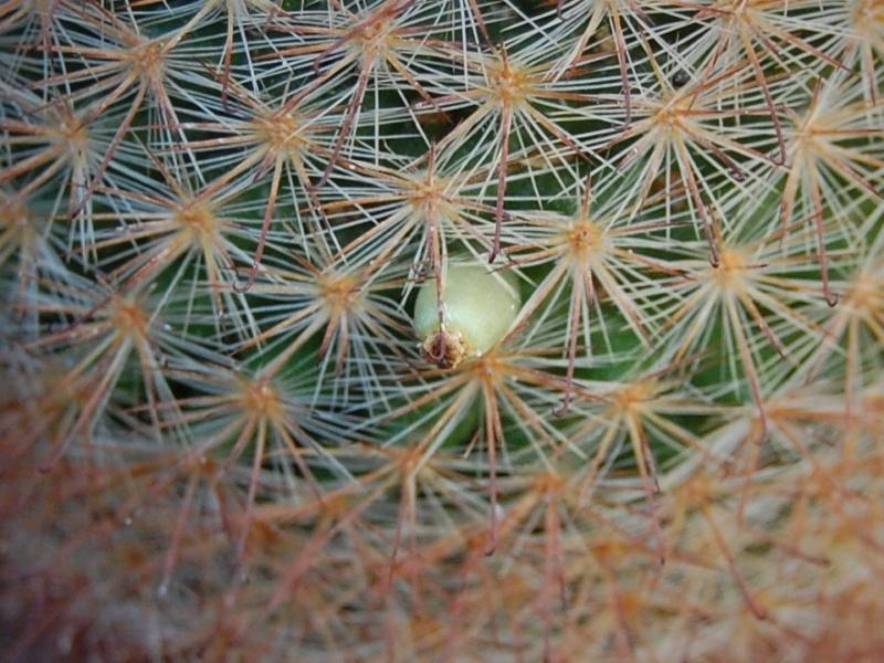 Mammillaria berkiana 8611-211