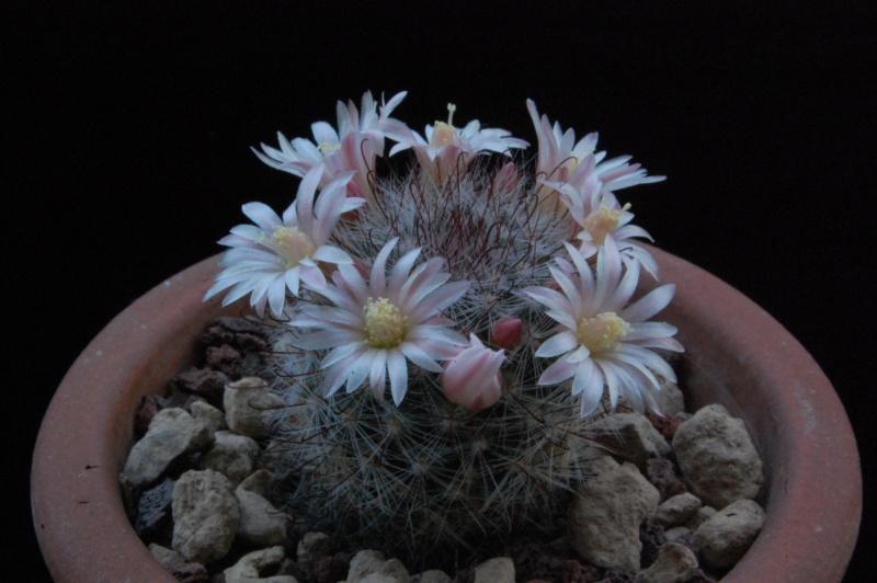 Mammillaria crinita 8613-210