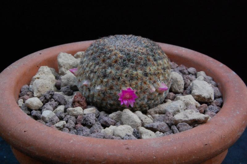 huitzilopochtli - Mammillaria huitzilopochtli 8615-210