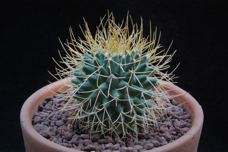Mammillaria polythele 8632-210