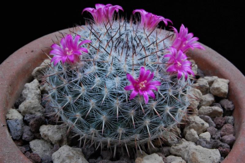Mammillaria saetigera 8633-211