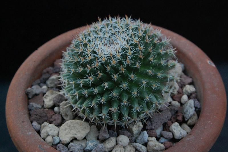 Mammillaria perbella 8634-210
