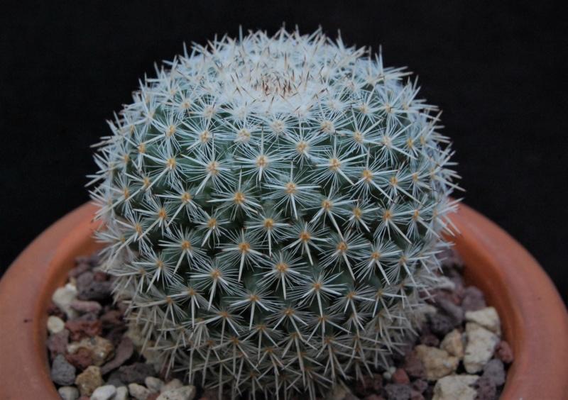 Mammillaria morganiana 8647-210