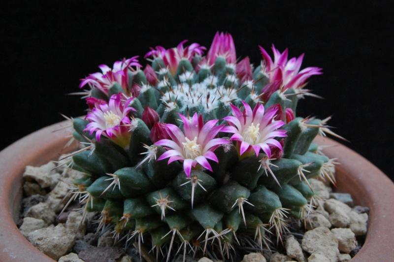 Mammillaria priessnitzii 8649-210