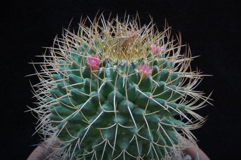 Mammillaria polythele 9001-210
