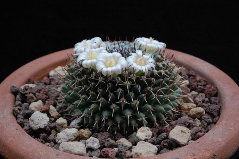 Mammillaria chionocephala 9208-210