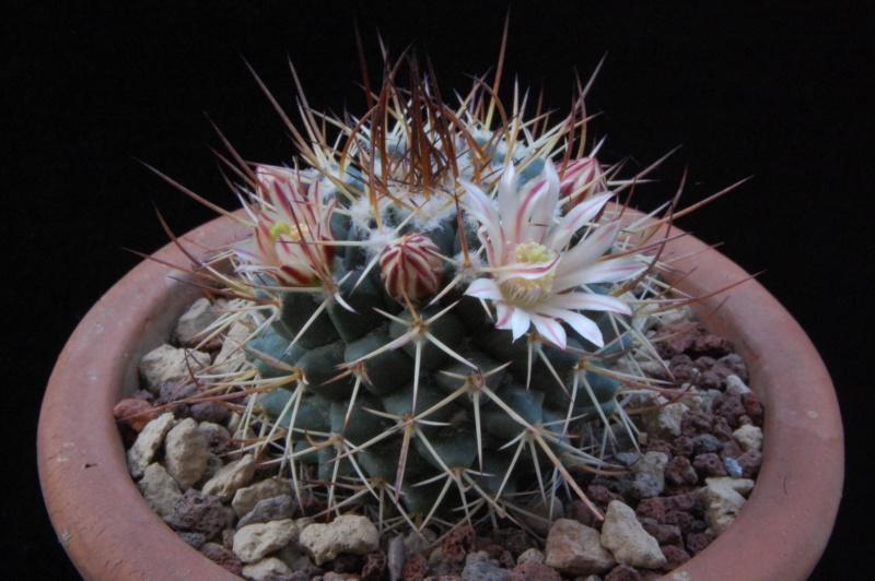 Mammillaria wagneriana 9257-211
