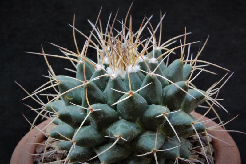 Mammillaria winterae  9277-211