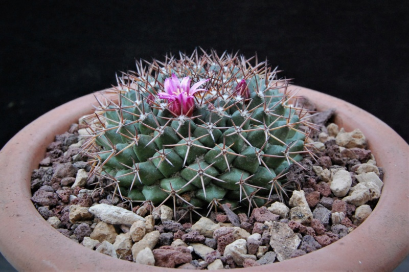 Mammillaria chaletii 9413-211