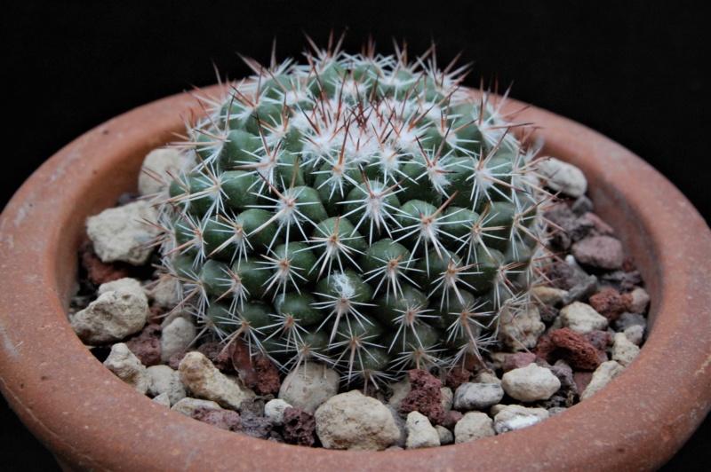 Mammillaria hertrichiana 9452-211