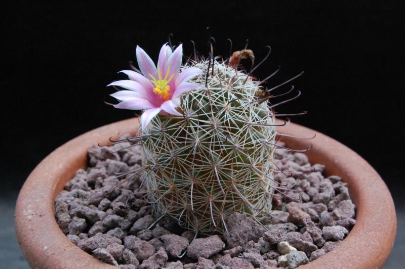 Mammillaria swinglei 9577-210
