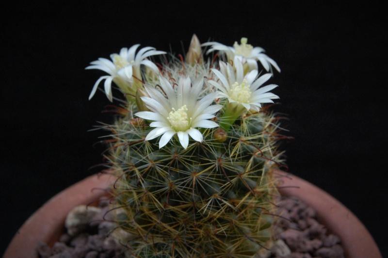 Mammillaria gilensis 9588-210