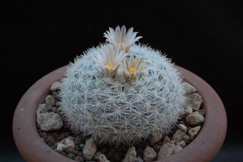 Mammillaria candida 9709-210
