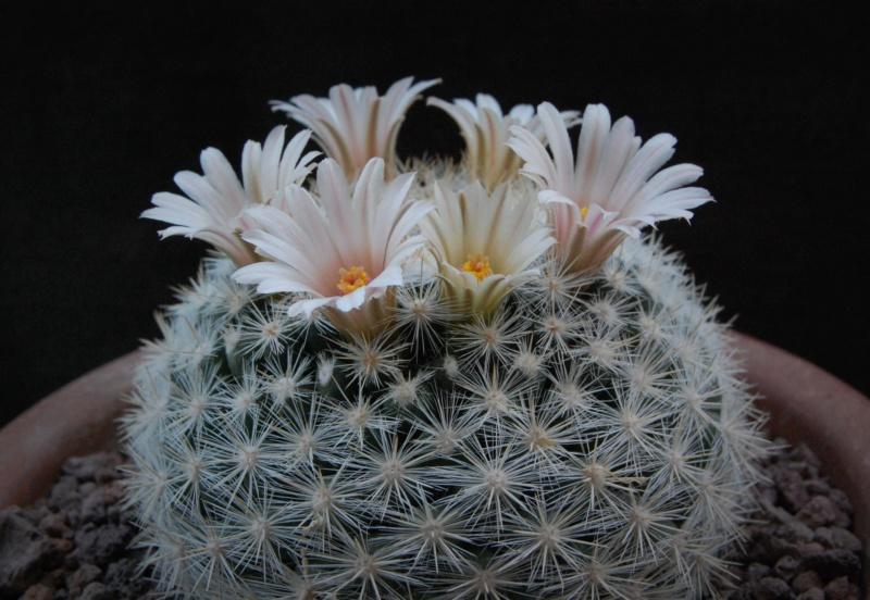 Mammillaria candida 9709-211