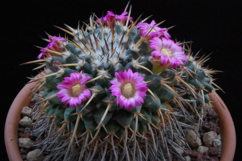 Mammillaria vagaspina 9713-210