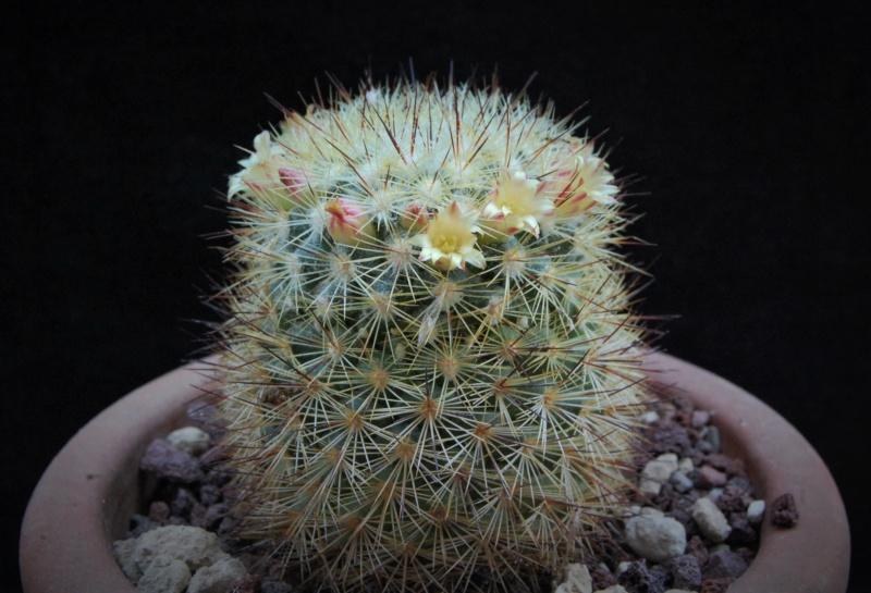 Mammillaria densispina 9723-210