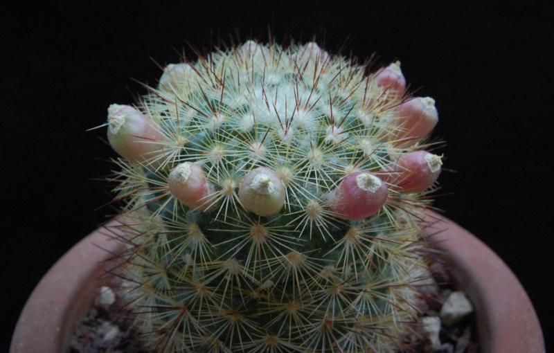 Mammillaria densispina 9723-211