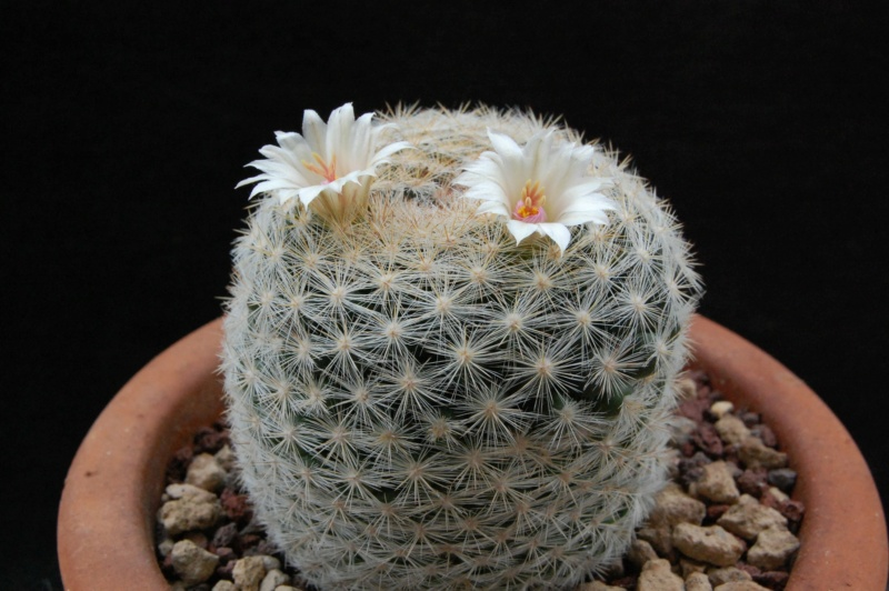Mammillaria candida 9743-210