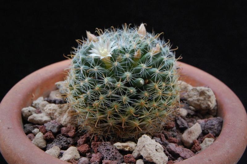Mammillaria boedekeriana 9751-211