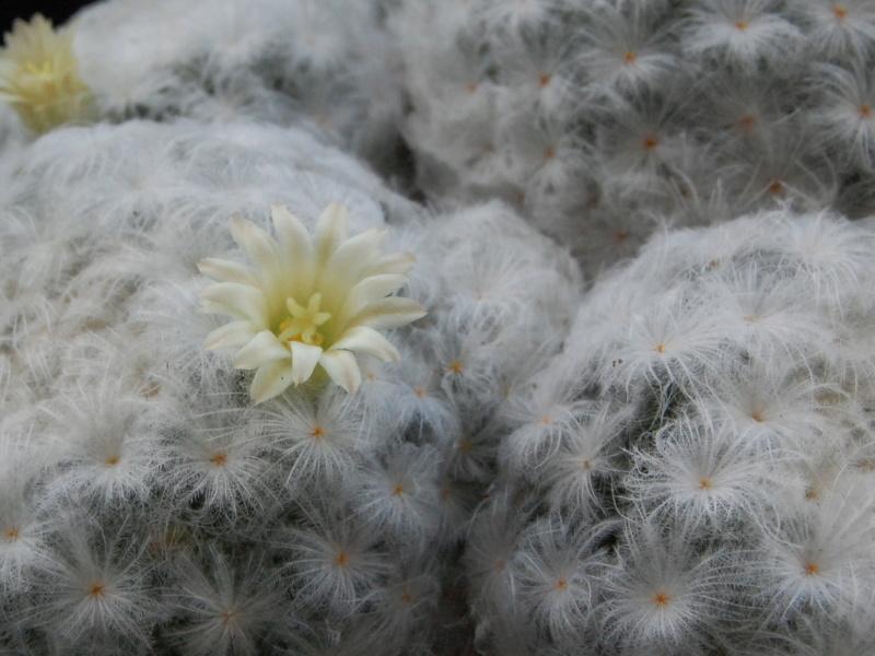Mammillaria plumosa 9767-210