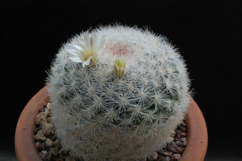 Mammillaria candida 9771-210